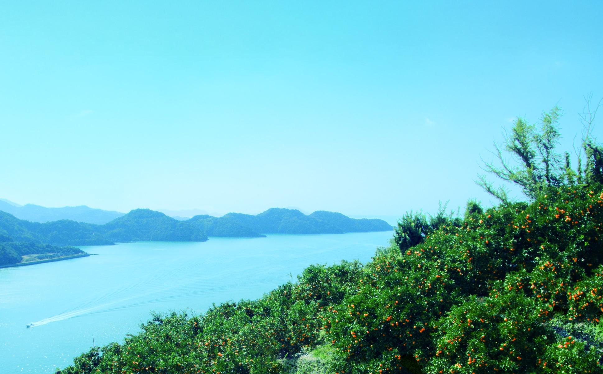 写真:八幡浜のみかん畑